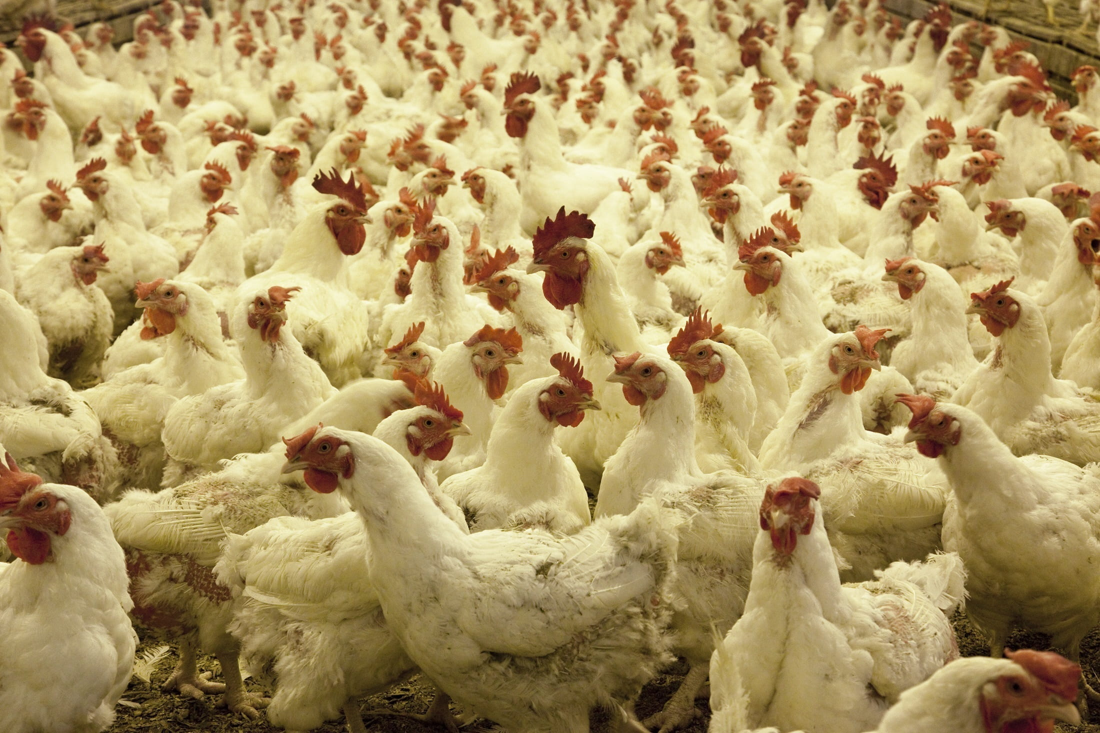 Chicken Prices Increased Upto Rs 280 in Andhra Pradesh
